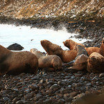 St. George Island: Stellar Sea Lions by Joe Connolly